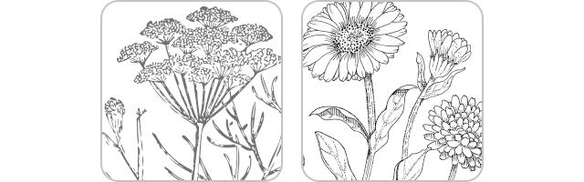[ オーガニック植物エキス ] フェンネルエキス※1・カレンデュラエキス※2(毛髪保護成分・保湿成分)